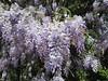 Wisteria (snow41) Tags: huntersvillenc downtown vine wisteria lavender flower