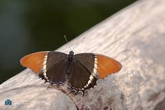 Butterfly (sattarmughal) Tags: rotterdamzoo rotterdam birdsphotography netherlands blijdorpzoo butterfly