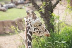 _MGL7971.jpg (shutterbugdancer) Tags: chimpanzee kamba gypsy tendaji lion lemur elephant adhama dallaszoo zoo animals boipelo hippos giraffe reticulatedgiraffe gorilla congo jenny