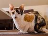 _P1011765_cut (daniel kuhne) Tags: cats katzen cornishrex stubentiger mft epl3