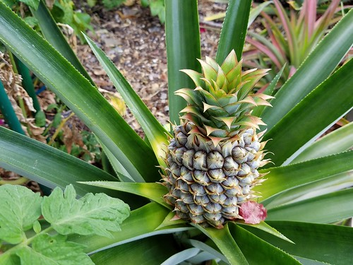 It's a pint-sized pineapple now!