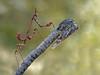 Aquí no me ve! (Chusmaki) Tags: ngc empusa roja penata mantis rivas macro camuflaje