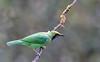 Golden-fronted Leafbird (Koshyk) Tags: leafbird goldenfrontedleafbird munnar adimali nikon nikond4s nikkor nikkor500mmf4 birdwatcher