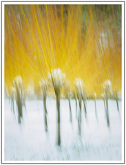 Flame throwers (adam_pierz) Tags: dogwood virginiawater yellow snow micro43 microfourthirds olympusomd icm blur