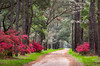 Deep South Lowcountry Lane Charleston South Carolina Edisto Island Scenic Landscape (Dave Allen Photography) Tags: edisto spring flowers sc scenic southcarolina nature charleston southern south carolina azaleas dogwoods dirtroad lowcountry edistoisland deepsouth springflowers explore outdoors landscape botany