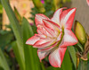 Knight's Star Lily (Double Hippeastrum) (Changer4Ever) Tags: nikon d750 nikkor 1050mmf28 flower plant life nature season bokeh dof depthoffield closeup macro petals