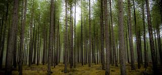 Abernethy Forest..