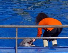 El delfín y la cuidadora (alfonsocarlospalencia) Tags: delfín cuidadora zoo casa de campo madrid comida naranja azul dientes transparencia rizos inmersión barandilla botas infancia recuerdos ternura cariño comunicación puntería sonrisa alegría colorido
