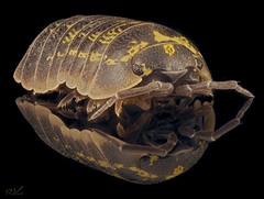 Woodlouse (robert.vierthaler) Tags: olympus omd em1 macro woodlouse insects stacking nature bugs