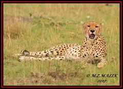 FEMALE CHEETAH (Acinonyx jubatus).....MASAI MARA....SEPT 2017. (M Z Malik) Tags: nikon d800e 400mmf28gedvr kenya africa safari wildlife masaimara keekoroklodge exoticafricanwildlife exoticafricancats flickrbigcats cheetah acinonyxjubatus ngc npc