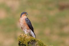 male sparrow hawk (dale 1) Tags: male sparrow hawk hunting