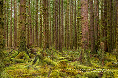 Living in Harmony (rkpunnamraju) Tags: greenery moss rainforest outdoor greatphotomoments landscape seattle washington nps olympicnationalpark hohnationalforest wood forest trees trail park tree