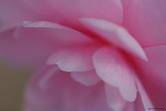 Rose camélia (jpto_55) Tags: pétale rose camélia fleur macro bokeh xe1 fuji fujifilm omlens om50mmf2macro hautegaronne france