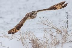 Short-eared owl takeoff (My Kona Girl) Tags: shortearedowl iowawildlife iowa owl raptor birdsofprey bird canonef500mmf4lisusm canon1dx ngc
