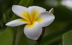 Yellow and White Frangipani Flower (Merrillie) Tags: frangipani woywoy flowers closeup floral newsouthwales nsw summer beautiful flower gardens flora australia nature frangipanis yellow tropical coastal