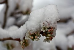 Mock Pear Tree Buds and Blooms in Snow - I (Ginger H Robinson) Tags: mockpear tree buds blooms flowers snow cold spring sunrise rockymountain frontrange colorado macro
