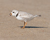First Plover (pheasantwood) Tags: shelter island birds