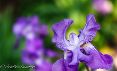 Spring Portrait (frederic.gombert) Tags: blue bloom blossom iris lily flower flowers garden light sun sunlight spring macro closeup summer