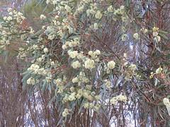 Eucalyptus viridis 1 (barryaceae) Tags: little desert national park vic victoria australia myrtaceae myrtle family order myrtales