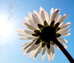 Der Sonne entgegen (Antje_Neufing) Tags: gänseblümchen blume frühling frühlingsblumen sonne blau himmel gegenlicht