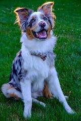 Henry (Jeff Anderson FFF) Tags: australianshepherd aussie australian dog portrait puppy golden hour