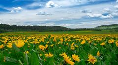 Fields of Mule's Ear (scepdoll) Tags: arrowleafbalsamroot bechler cavefalls cavefallsroad horseshoelakeroad idaho spring wyoming delphiniums flowers storm wildflowers