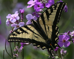 The Flip Side of Yesterday  :) (Paridae) Tags: swallowtail swallowtailbutterfly tigerswallowtail papilioglaucus butterfliesofbritishcolumbia butterfliesoflangley campbellvalleypark thingswithwings afewofmyfavouritethings canoneos1dx