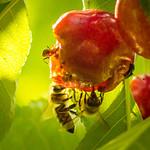 Bees racing toward extinction thumbnail