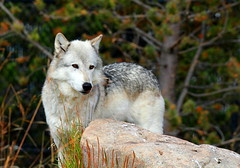 Wolf Rock (RPahre) Tags: westyellowstone montana gwdc grizzlywolfdiscoverycenter wolf