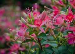Fuchsia flowers (frankmh) Tags: plant flower sofiero helsingborg skåne sweden