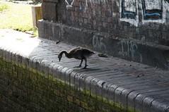 It's A Long Way Down (tim ellis) Tags: bfm0618 canal bird goose canadagoose brantacanadensis gosling lock birmingham uk