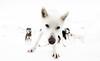 Jinx in Sportgastein (AT) (ラルフ - Ralf RKLFoto) Tags: musher mush mushing dog husky jinx sportgastein rssc canon schlittenhunderennen schlittenhund hund