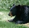 Toothy Black Bear (Gus Thompson) Tags: ursa danger beauty travel animal wild