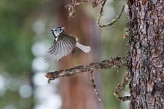 Cincia dal ciuffo (kmclaudio) Tags: pentaxart uccello cinciadalciuffo bosco engadina inverno ali volo ramo larice bokeh svizzera pontresina valroseg