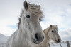 White Icelandic Horses in the Snow (B.E.K. Photography) Tags: iceland icelandic horses snow winter white fence animal outdoor cloud sky