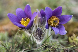 *Pasque flowers for you*