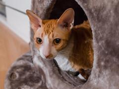 _P1011749_cut (daniel kuhne) Tags: cats katzen cornishrex stubentiger mft epl3