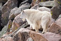 Mountain Goat surveying its domain