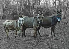 Jenny3 (wildrosetn39) Tags: mule farm creatures experimental