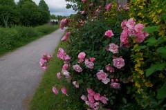 1479-14L (Lozarithm) Tags: caenhill devizes wilts canals kennetavon flora flowers roses paths k50 pentax zoom 1855 smcpda1855mmf3556alwr justpentax