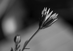 Flower in spring (TPStearns) Tags: monochrome blackandwhite bw flower macro
