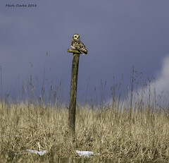 SEO POST (Nobby1968) Tags: shorty owl seo shortearedowl hawling gloucestershire cotswolds birds raptor birdsofprey