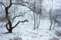 Whitewalkers (J C Mills Photography) Tags: peakdistrict derbyshire mist fog snow winter woodland trees birch stantonmoor