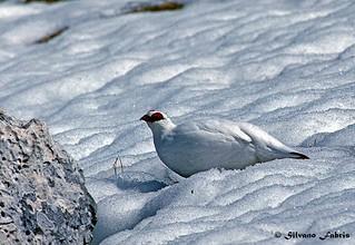 Ptarmigan- Pernice bianca