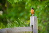 Robin Takes a Rest (Eric Tischler) Tags: bird robin fence