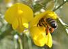 Happy Easter! (conall..) Tags: gorse closeup raynox dcr250 macro county down tullynacree nw551041 annacloy field ulex europaeus bush shrub scrub bee honeybee apis mellifera apismellifera pollination pollen load pollenload colour pollenloadcolour