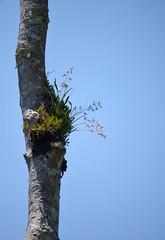Encyclia bractescens in situ (about 10m high) (Encyclia83) Tags: chiapas mexico orchid encyclia bractescens