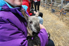 Lamb (ec1jack) Tags: bedfordshire england britain uk europe easter march 2018 lamb lambing sheep farm birth spring watergatefarm ec1jack kierankelly canoneos600d animals wool ovine weekends