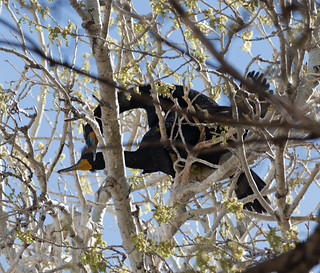 copulating_cormorants-20180328-100-2