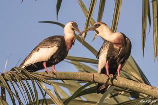 Buff-necked Ibis (Theristicus caudatus).